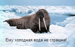 Морской морж