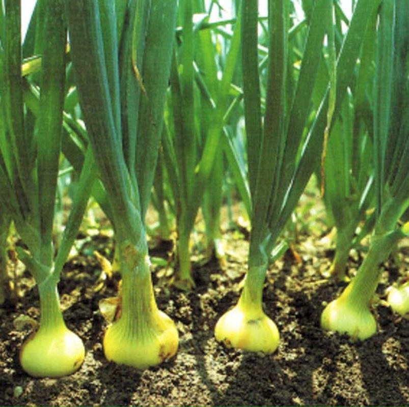 Лук нового урожая