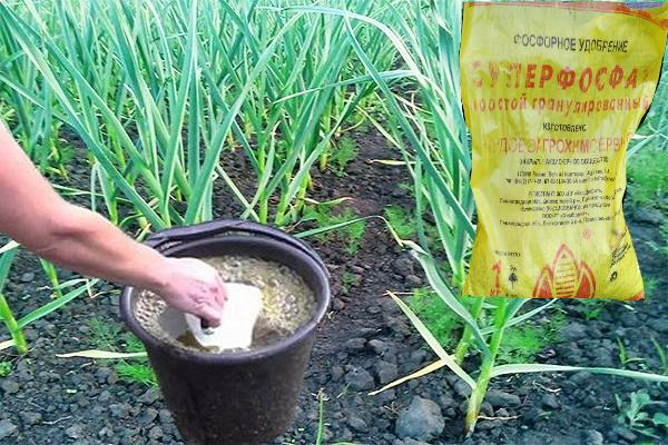 Подкормка чеснока в июле суперфосфатом
