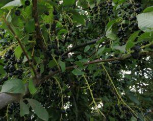 Лечебные свойства черемухи — обильный урожай плодов