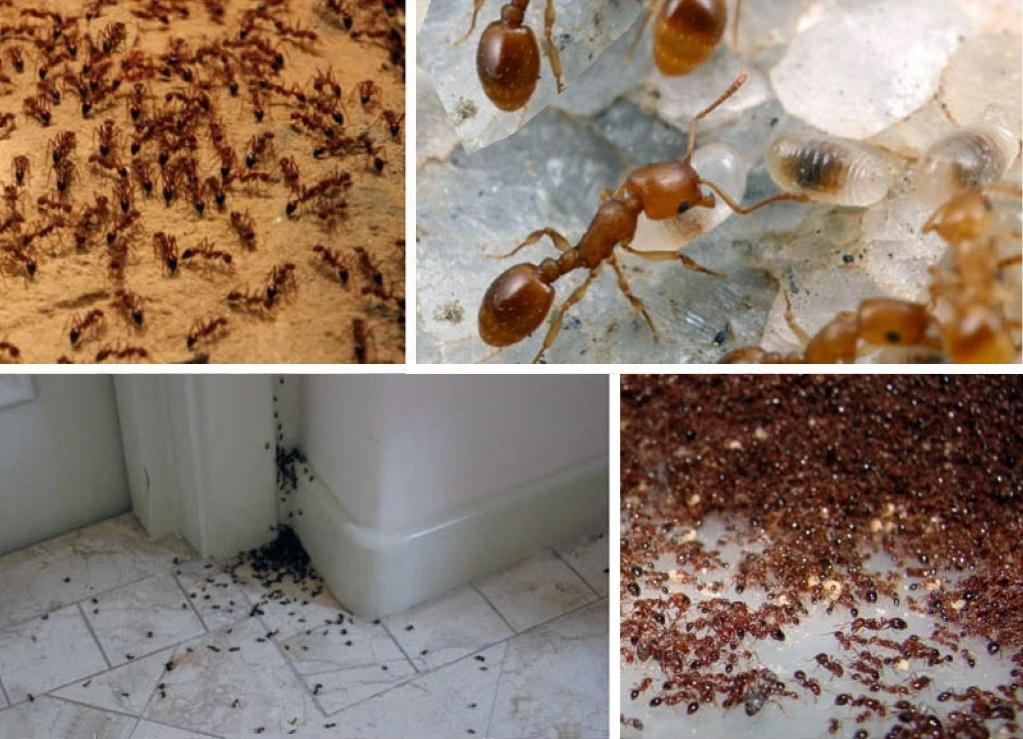Как справиться с муравьями, снующими повсюду в комнате