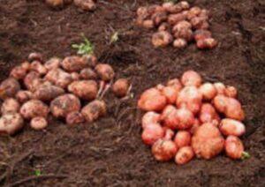 Агротехника выращивания картофеля на даче