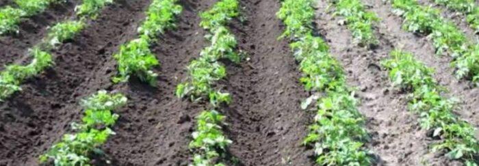 Окучивание картошки на даче