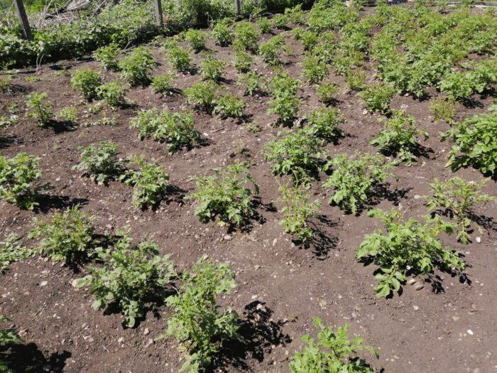 Участок картофеля на даче для рационального питания