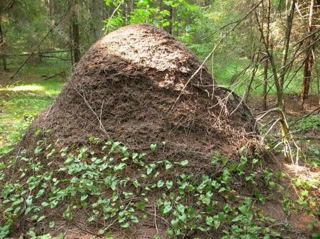 Жизнь муравьев, муравейник