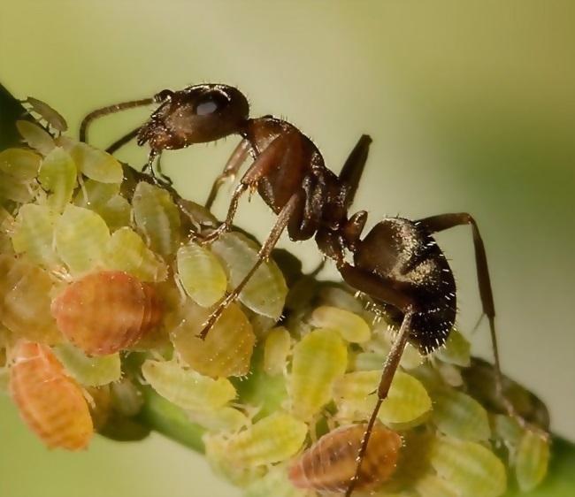 Жизнь муравьев, уход за тлей
