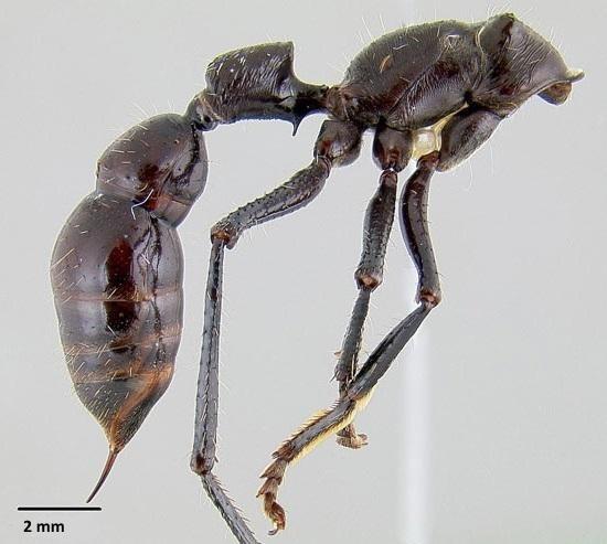 Безжалостный убийца муравей пуля
