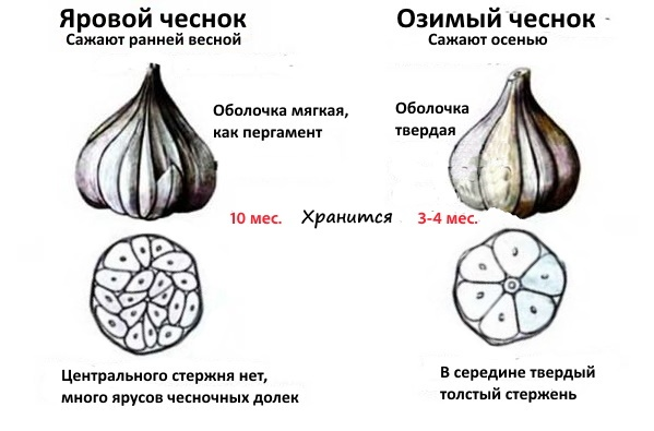 Как отличить озимый чеснок от ярового
