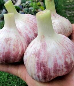 Выращивание озимого чеснока сорт Любаша