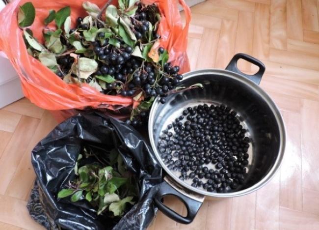 Когда собирать черноплодную рябину